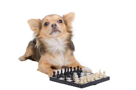 harming: Chihuahua grand master playing chess Stock Photo