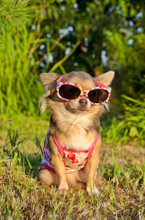 dog in costume: Chihuahua wearing sunglasses and t-shirt in the park