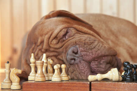 dogue de bordeaux: Dog Grand Master sleeping on a chess board Stock Photo