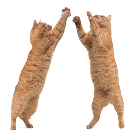 gato jugando: Dos gatos competitng un juguete, corte Foto de archivo
