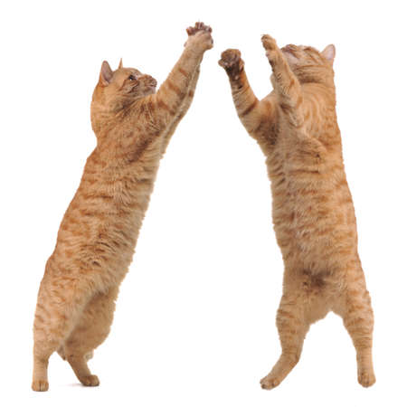 Two cats competitng for a toy, cut out