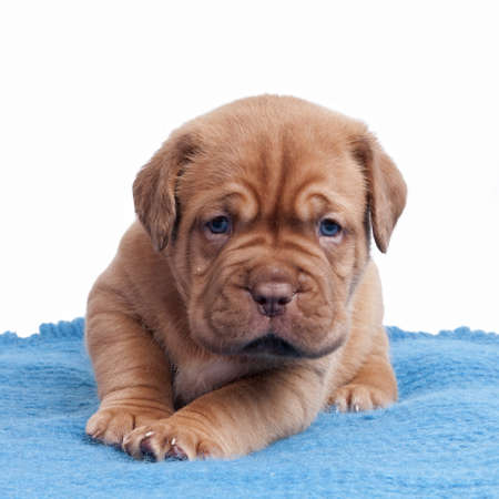 Wrinkled ppuppy on the carpet isolated photo