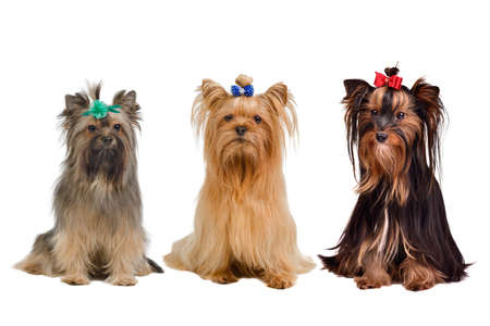 silky terrier: Three Yorkshire terrier dogs isolated