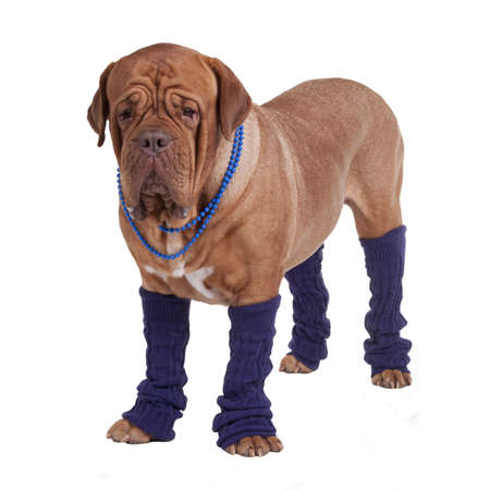 leg warmers: Dog with beads and leg warmers isolated