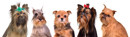 dog grooming: Gropu of little dogs isolated portraits