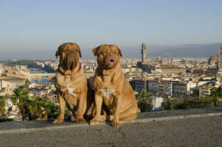 ponte vechio: Dogs against Florence city view, Italy Stock Photo