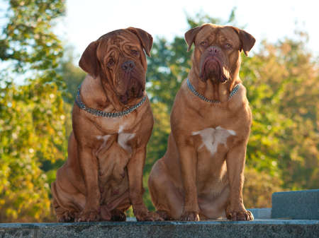 dogue de bordeaux: Two Dogues De Bordeaux at the autumn street