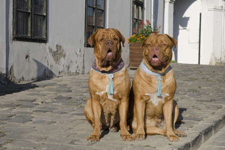 French Mastiff dogs on the European street photo