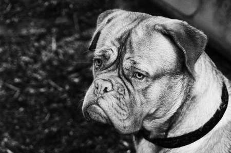 French Mastiff black-and-white portrait, close up photo