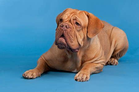 big dog: Dogue De Bordeaux lying against blue