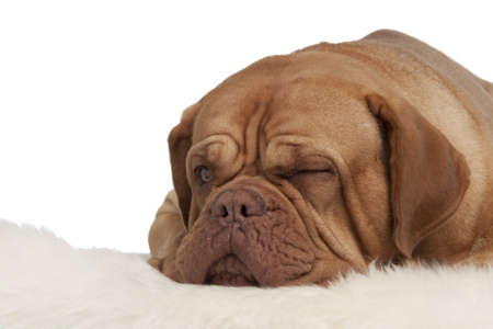 Winking dog lying on white carpet isolated photo