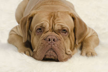 Attentive wrinkled dog on white carpet Stock Photo