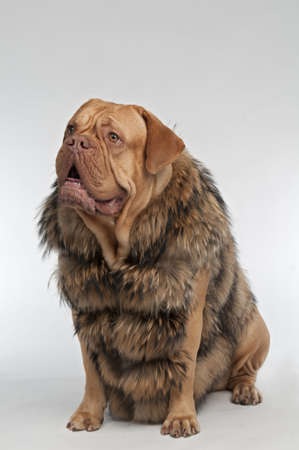 Wrinkled dog wearing raccoon fur coat photo