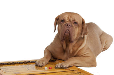 games of chance: Dog lying on backgammon with chips and dices, isolated on white