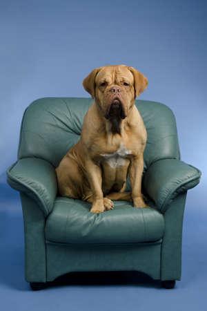 arm chair: Dog on the arm chair, studio shot Stock Photo