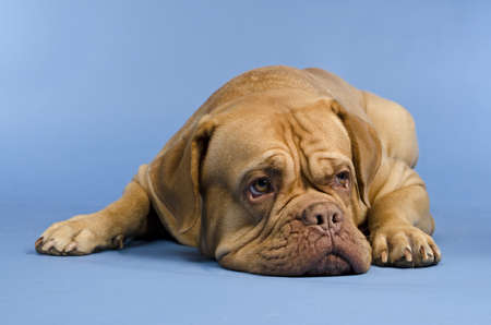 molosse: Dogue De Bordeaux lying against blue background