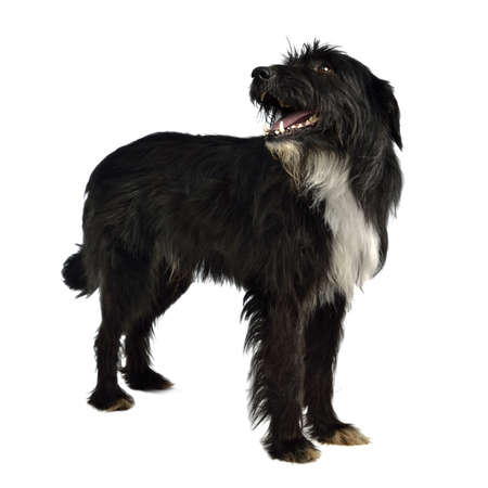Black shaggy dog standing against white background photo