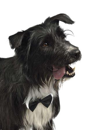 Elegant male dog with bow tie, studio shot photo