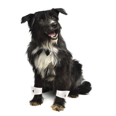 cuffs: Gentleman dog with bow tie and white cuffs isolated