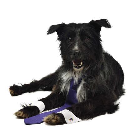 Elegant dog with tie isolated on white photo