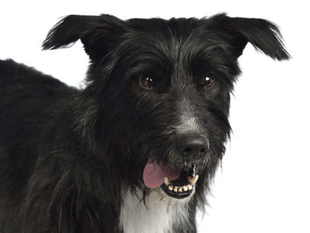 Black mixed breed portrait isolated on white photo