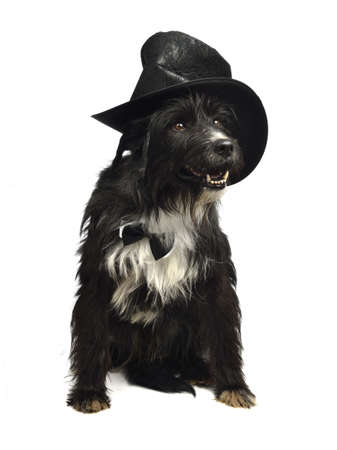 Gentleman dog with bow tie and top hat isolated photo