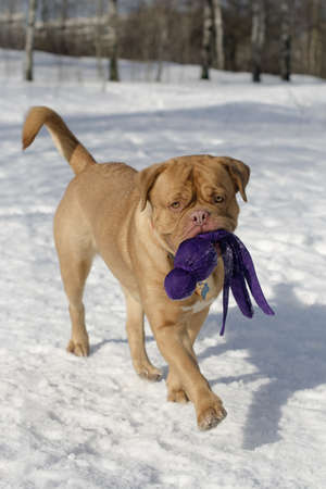 Dogue De Bordeaux with toy playing outdoors photo