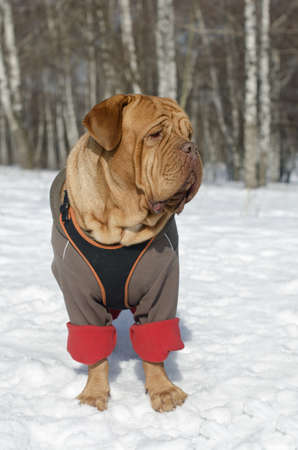 French Mastiff wearing winter coat and harness outdoors photo