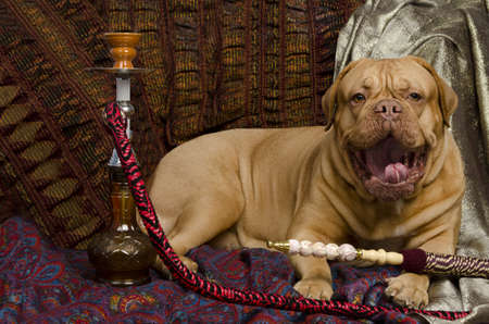 dogue de bordeaux: Yawning dog lying in Arabic interior with hookah Stock Photo
