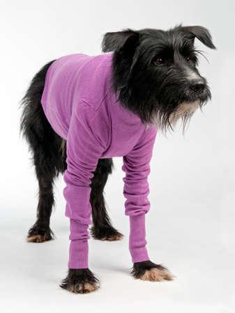 Funny dog wearing sweater isolated on white background Standard-Bild
