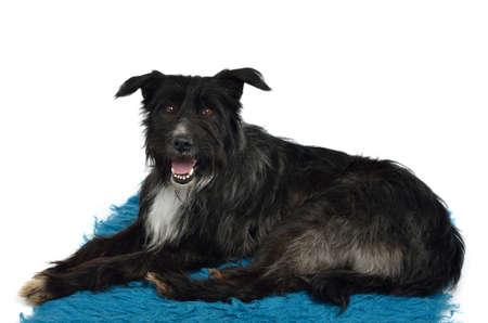 Dog lounging on furry carpet isolated Stock Photo - 13369446