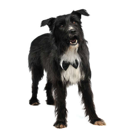 Elegant male dog with bow tie, isolated on white background photo