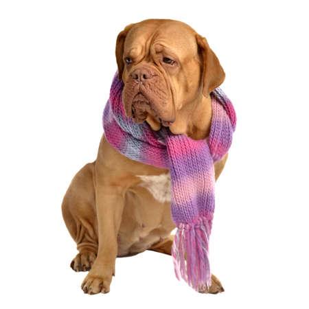 shawl: Grote hond met sjaal op een witte achtergrond