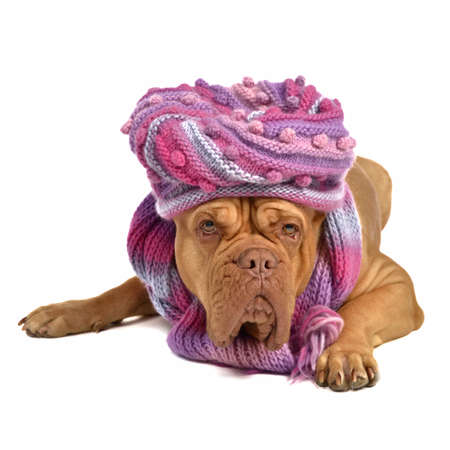 Big dog wearing hat and scarf isolated on white photo
