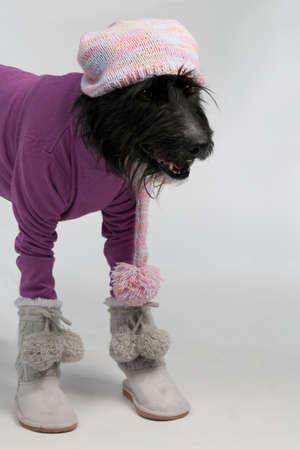 Dog with casual style winter clothes, studio shot photo