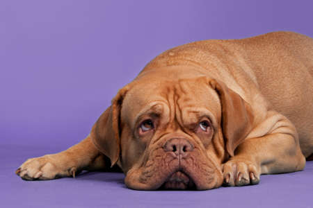 dogue de bordeaux: Dogue De Bordeaux lying against purple background