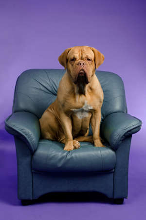 Dogue De Bordeaux on the armchair, studio shot Stock Photo