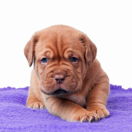 Newborn mastiff puppy on a carpet photo