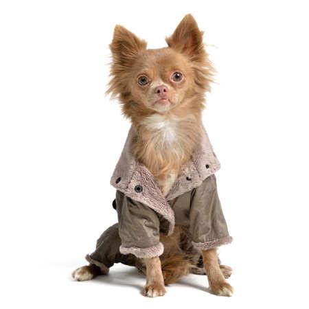 Chihuahua with raincoat isolated photo
