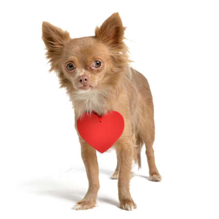 Valentine dog with red heart isolated on white photo