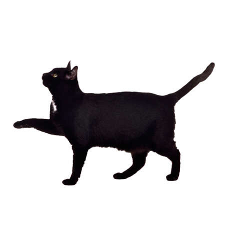 Black cat walking with paw up, isolated on white photo