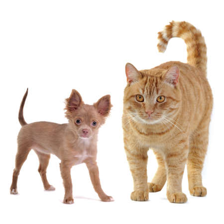 chiwawa: Small dog and big cat, isolated on white background