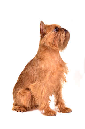 brussels griffon: Griffon Bruxellois sitting, isolated on white background