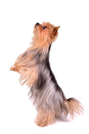 silky terrier: Yorkshire Terrier in piedi sulle zampe posteriori, isolato su bianco