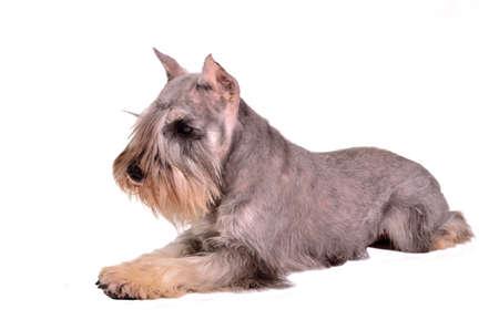 miniature breed: Schnauzer miniatura mentira, aisladas sobre fondo blanco Foto de archivo