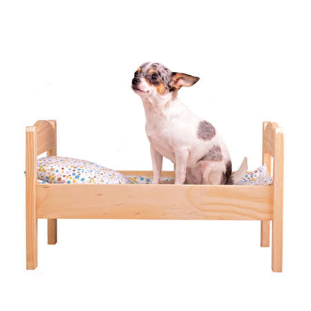 chiwawa: Dog on the bed, isolated on white background Stock Photo