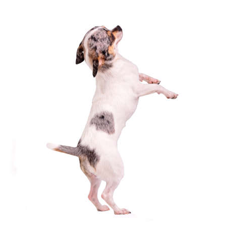 Chihuahua dancing on hind legs, isolated on white photo