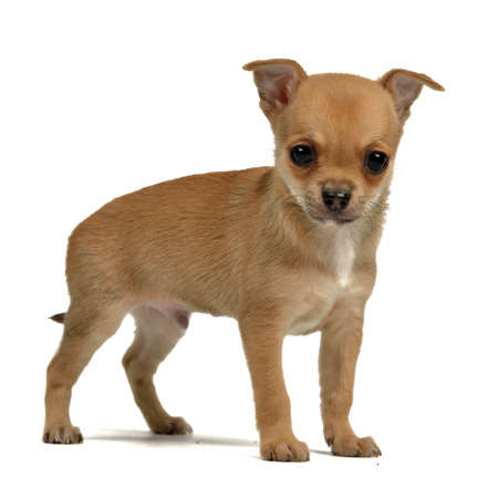Tiny chihuahua puppy isolated photo