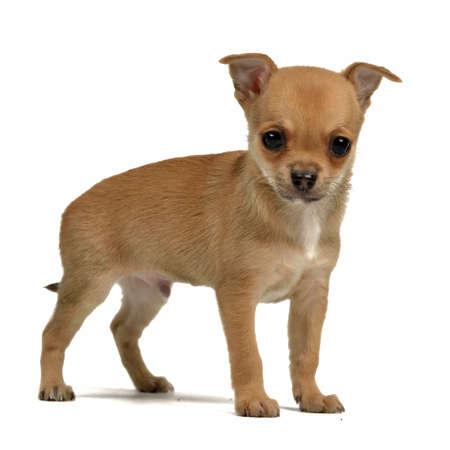 Tiny chihuahua puppy isolated photo