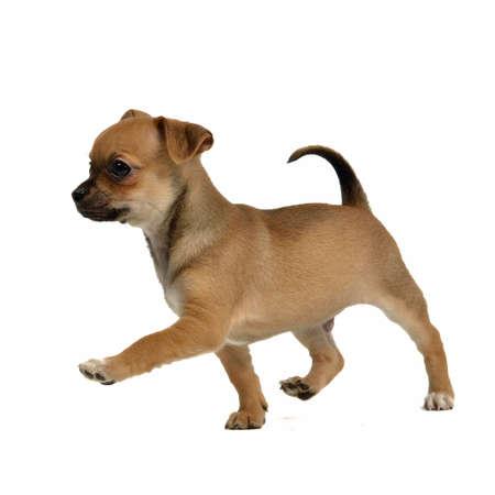 行き: 白い背景上に分離されて実行中のチワワ子犬